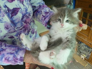 Blue Tabby and White male kitten (Now sold)