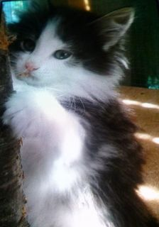 Brown Tabby and White male, (available, Ready end of April)